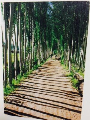row-of-poplar-trees